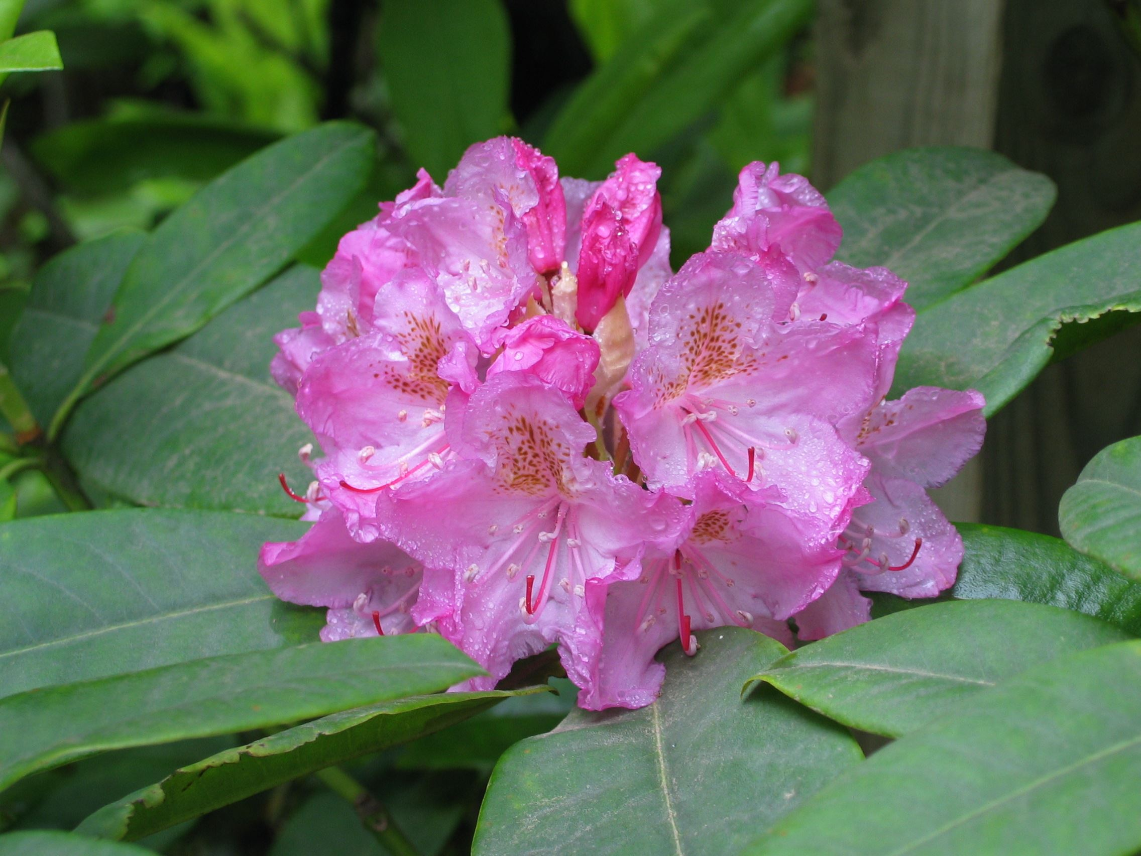 Pacific Rhododendron, Photo Credit Randy Smith