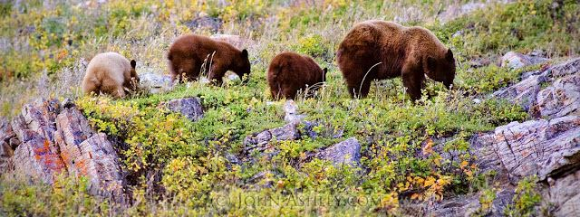 Bears eating berries