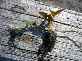 A knotweed fragmant growing out of a log